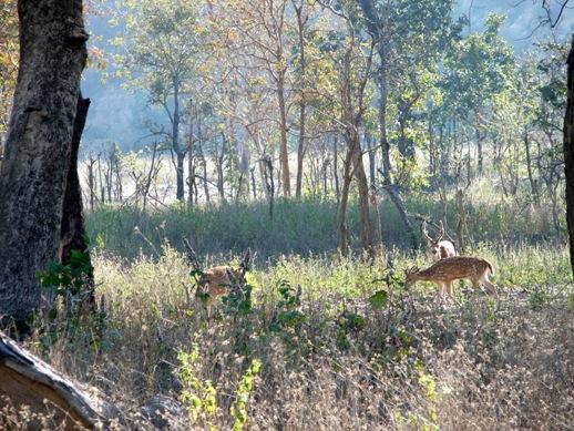 Deers grazing in Jim Corbett National Park. Photograph by Lalit Kumar.